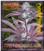 Secret Valley Purple Pineberry Fem 5 Weed Seeds